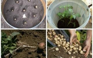 Как вырастить 45 кг картофеля в бочке